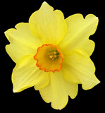 Yellow Daffodil with Orange Trumpet poster