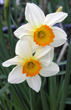 Two White Daffodils with Orange Trumpets poster