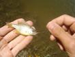 La pêche de la perche soleil