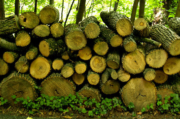 Forest Woodpile