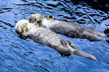 cute see otter holding each other's hand - Fine Art prints