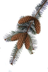 a pine bough with pine cones