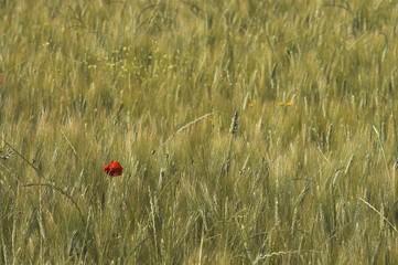 Campo di spighe di grano