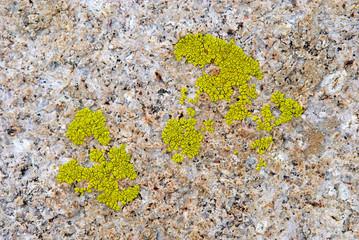 Green lichen on rock texture