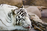 White tiger washing by tongue poster