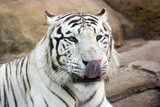 White tiger with green eyes washing nose by tongue poster