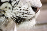 White tigers nose and whisker close-up poster