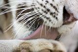 White tiger washing paw by tongue close-up poster