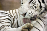 White tiger washing paw by tongue poster