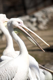 Two pelicans white staying in the autmn meadow poster