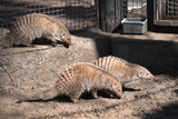Three brown mongooses in the zoo cage poster