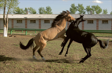 Two young horses playing at the farm