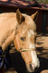 horse wearing nose harness