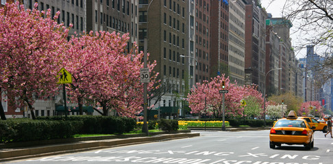 Pink blossoming trees in Park Avenue, Manhattan