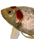 fish in an aquarium that looks to be having a bad lipstick day poster