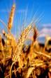 Weizen-Ähre im Sommer