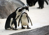 Cute affectionate penguin couple at the zoo poster