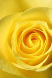 Elegant Yellow Rose
