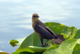 Common Grackle (Female) poster