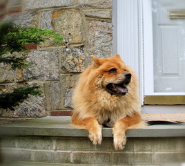 Chow Chow Breed Dog Lounging on Front Steps of House