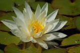 Yellow Lotus Pond poster