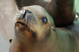 Staring Sea Lion  poster