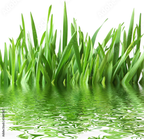 Green grass isolated  on the white background - 3667367