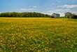Dandelions in rural field
