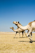 Going camels