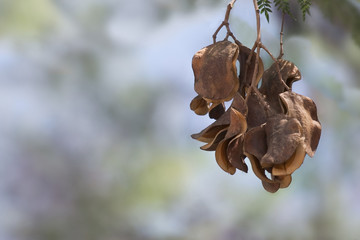 Dry pods with seeds of a tree on a light background