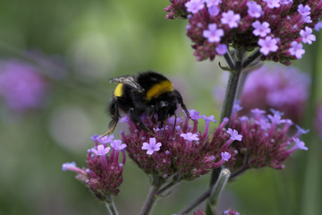 Bumblebee on purple flowers