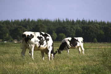 Grazing black and white cows