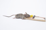A dead field mouse in a mousetrap. poster