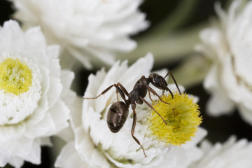 Macro of a tiny ant on a flower.
