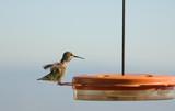 Hummingbird feeding at liquid feeder poster