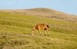chestnut mareat feeding in hillside pasture  poster