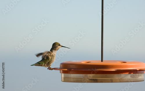 poster of Hummingbird feeding at liquid feeder