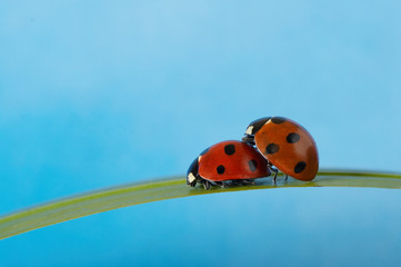 Two ladybugs on grass blade loving each other. Blue background.