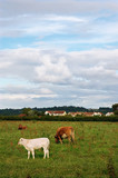 Cows Grazing in a field in South Gloucestershire poster