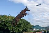 Black Labrador Retriever dog doing his dock dive. poster