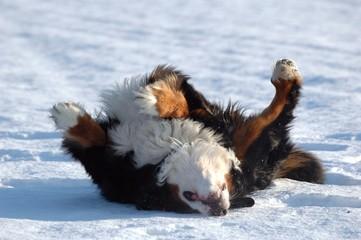chien bouvier bernois