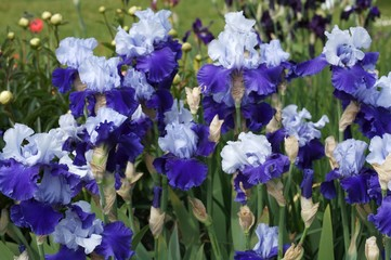 Glowing Irises