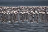 Famous lake Nakuru with million of pink flamingos. poster