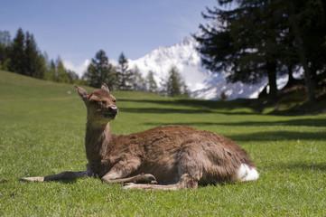 Deer in front of Mont Blanc range - landscape orientation