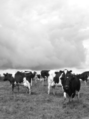 Black and white cows and clouds