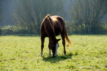 Relaxed chestnut horse grazing on the meadow.