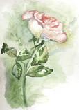 trandafir alb 2