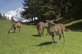 Deer in front of Mont Blanc range - landscape orientation poster