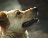 Muzzle of a not purebred red dog close-up poster