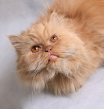 Portrait of the Persian cat on a white background poster